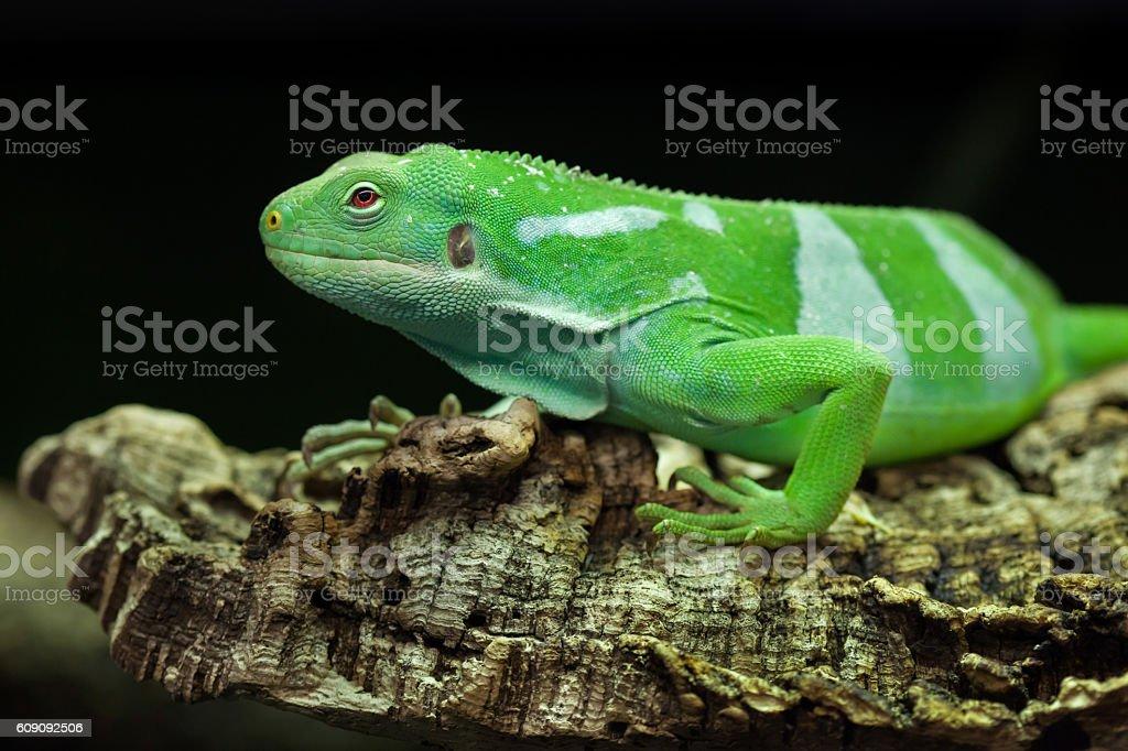 Fiji banded iguana (Brachylophus fasciatus). stock photo
