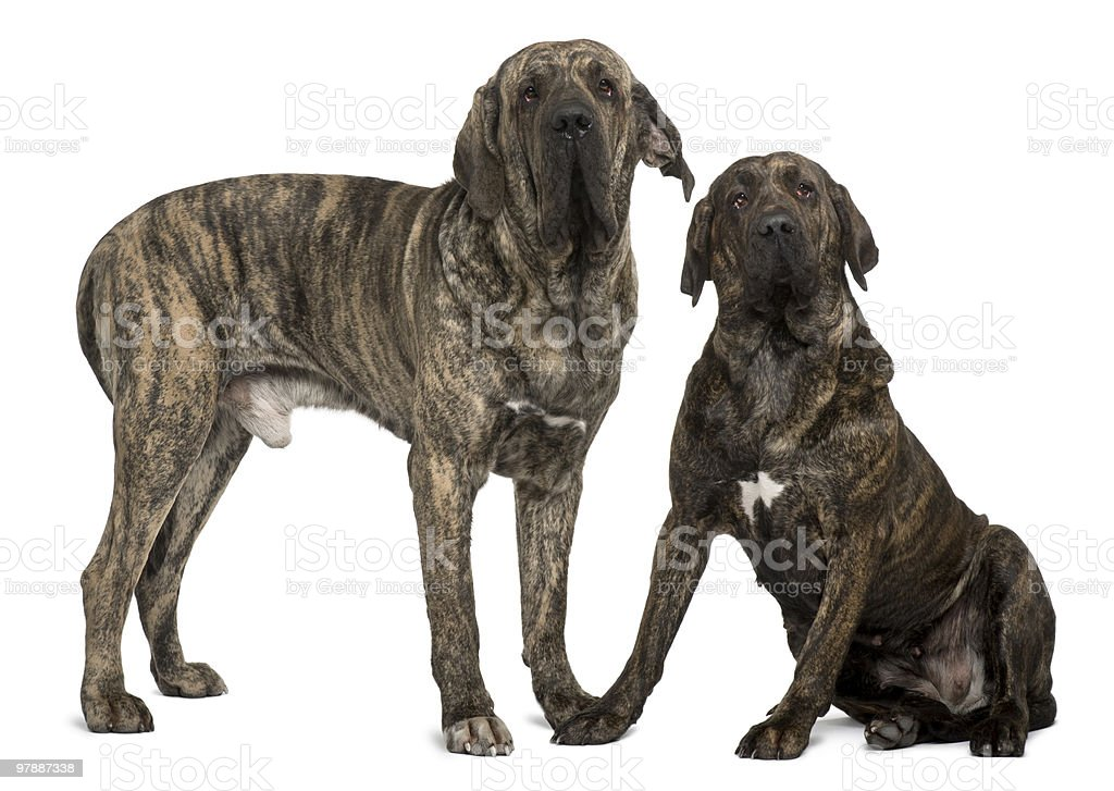 Fila braziliero or Brazilian Mastiffs standing and sitting stock photo