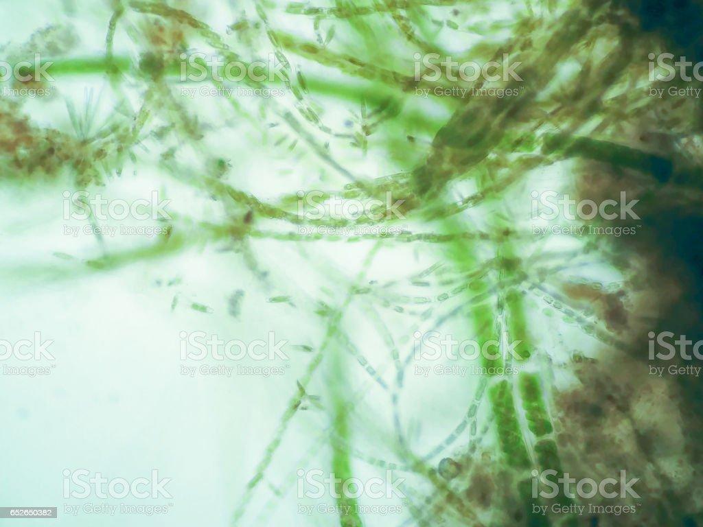 Filamentous algae stock photo