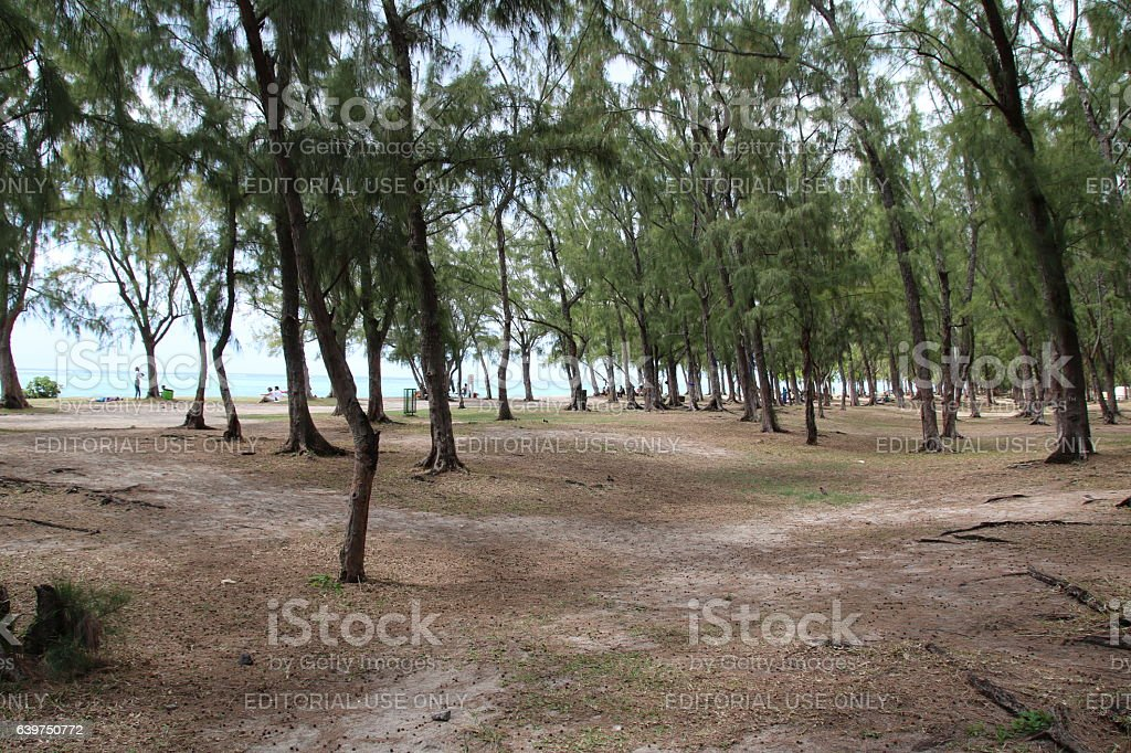 Filao Trees, Beach of Le Morne, Mauritius, Indian Ocean, Africa stock photo