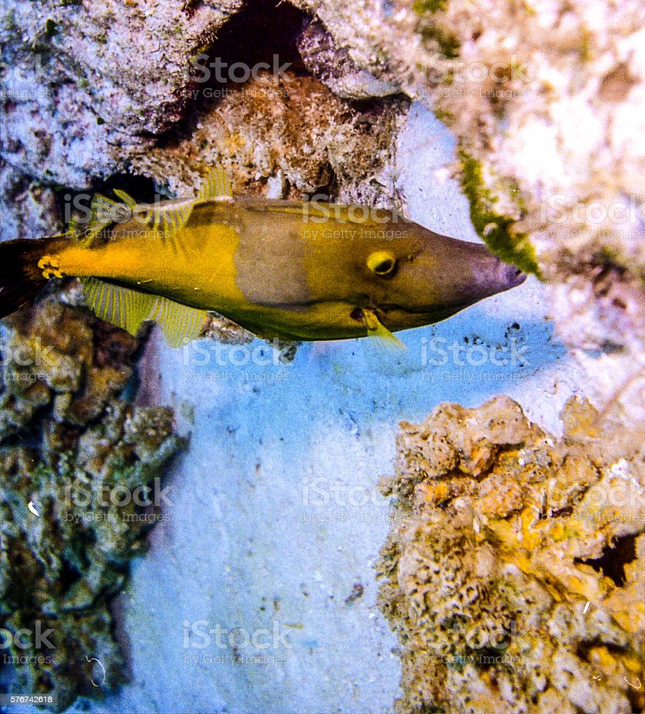 File Fish swimming in a Reef stock photo