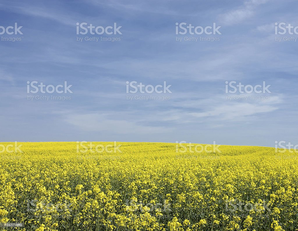 Filed of rape stock photo