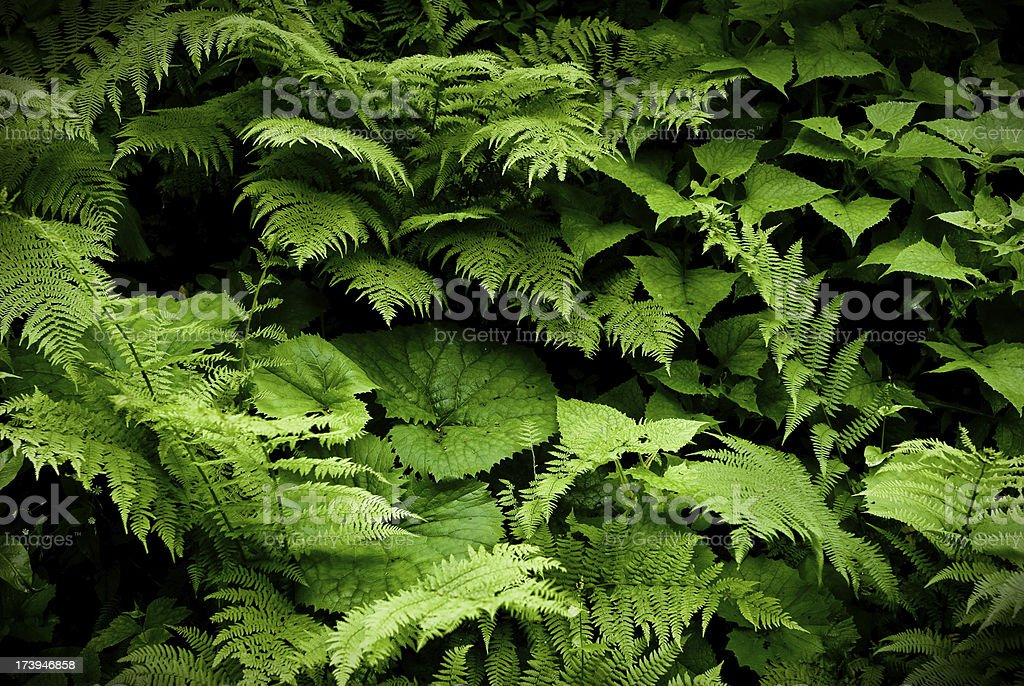 Filicopsida or Fern fronds stock photo