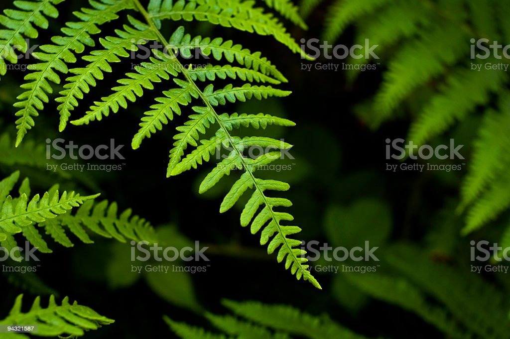 Filicopsida or Fern fronds royalty-free stock photo
