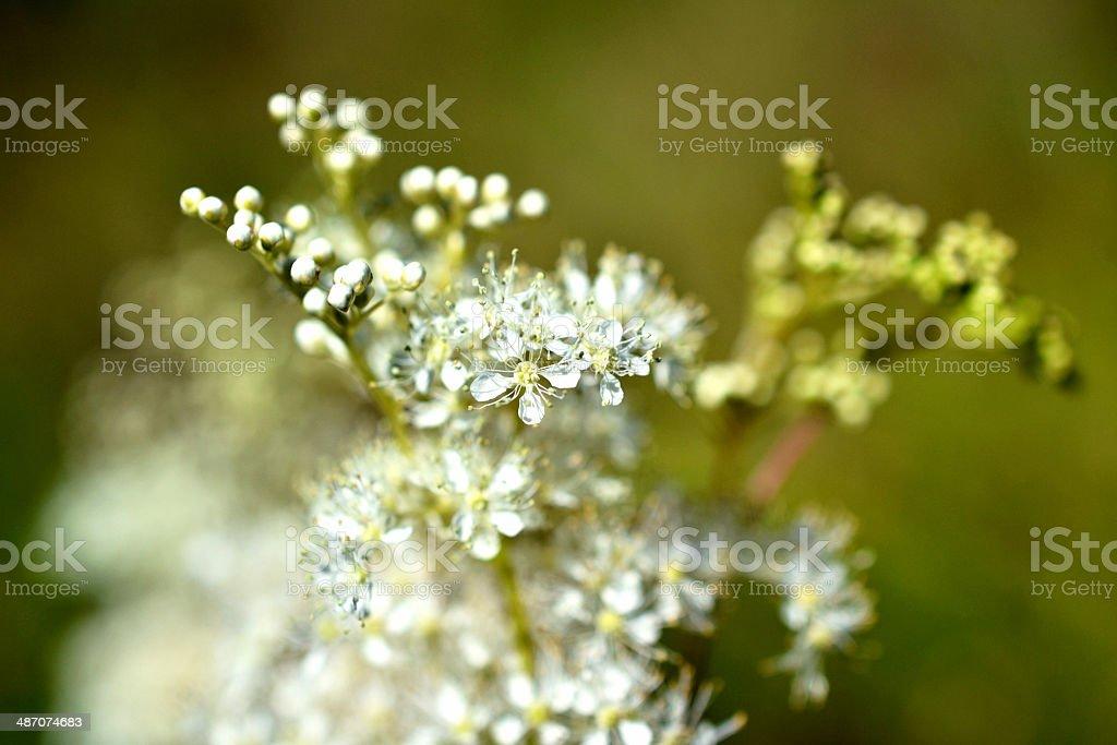 Filipendula Ulmaria が花開きます。 ロイヤリティフリーストックフォト