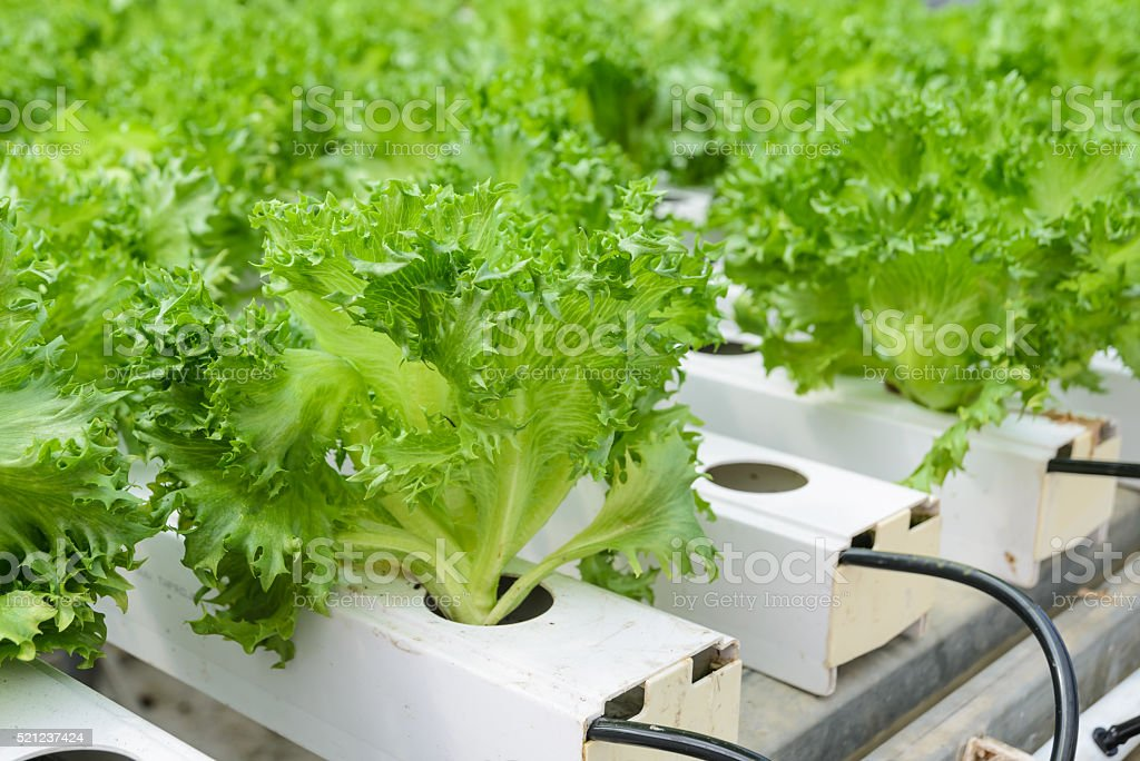 Fillie Iceburg leaf lettuce vegetables plantation stock photo