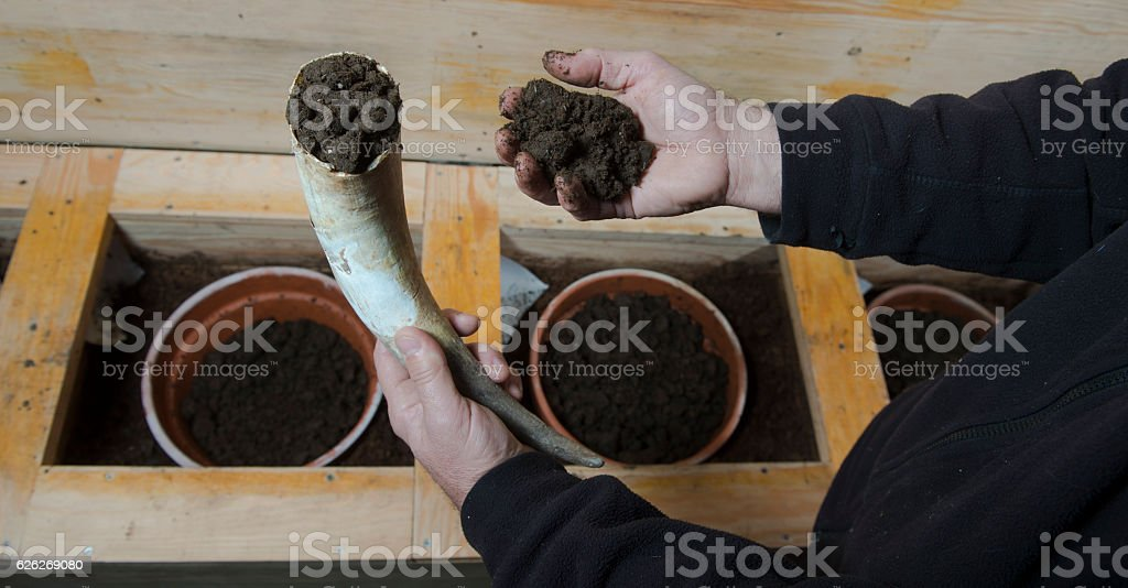Filling cow horns with manure to make biodynamic in vineyards stock photo