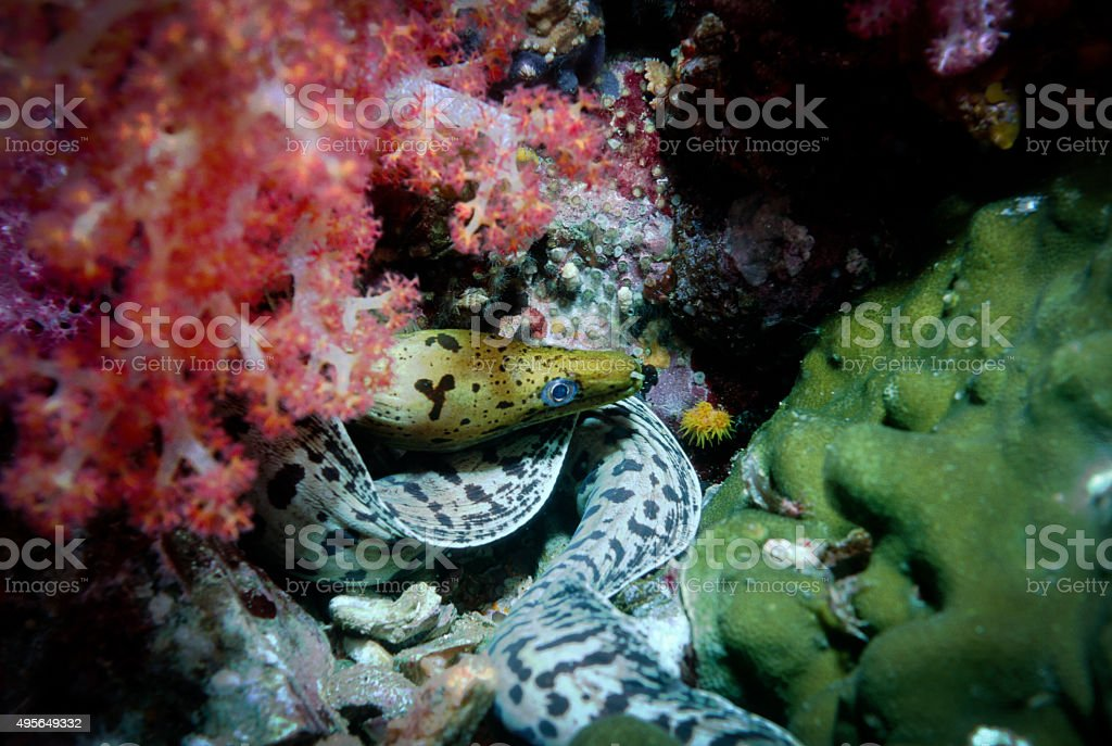Fimbriated Moray Eel - Myanmar royalty-free stock photo