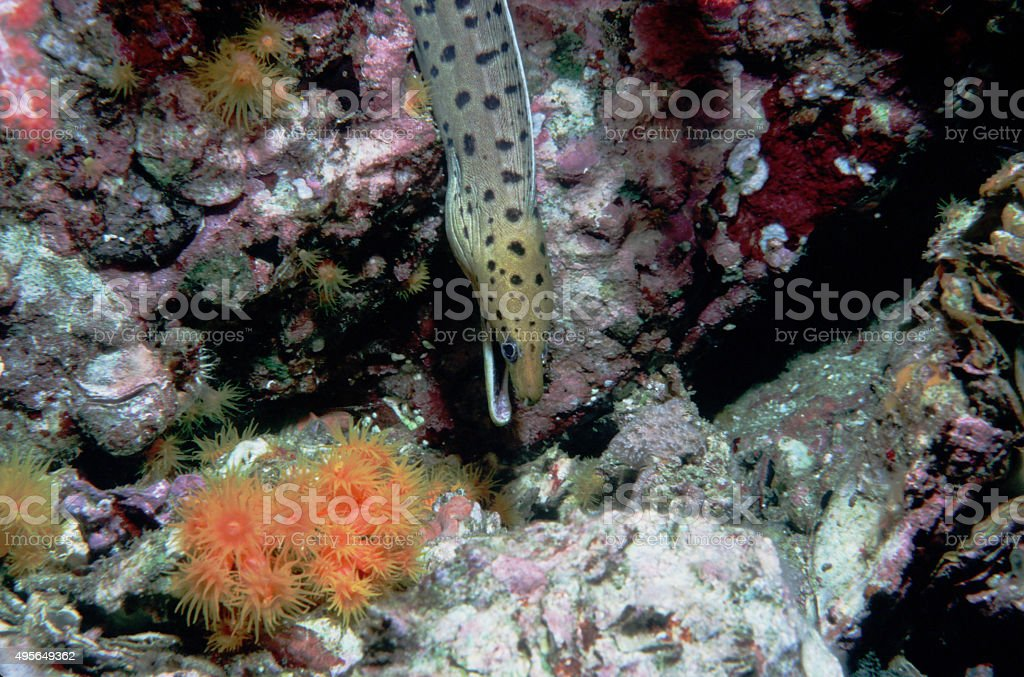 Fimbriated Moray Eel (Downward Looking) - Myanmar royalty-free stock photo