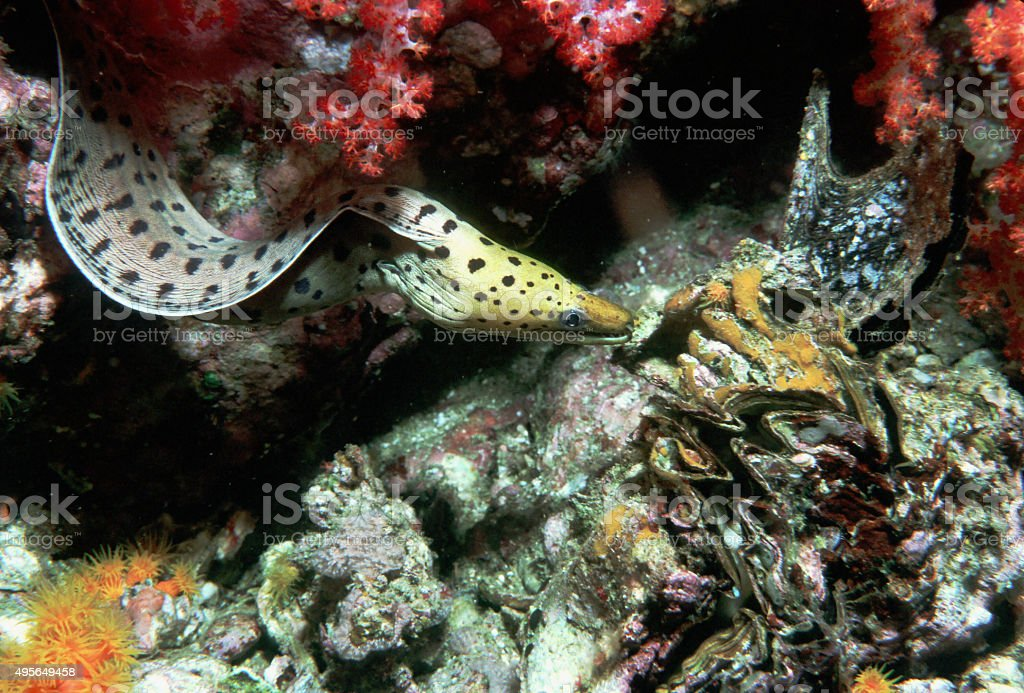 Fimbriated Moray Eel (On the Move) - Myanmar royalty-free stock photo