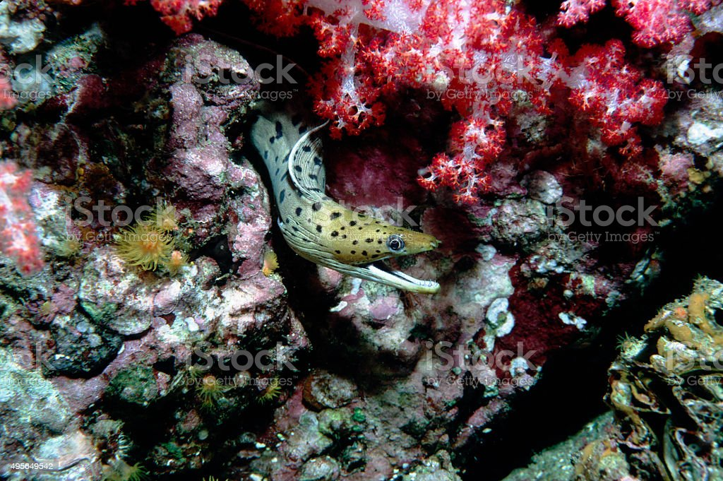 Fimbriated Moray Eel (Smile) - Myanmar.jpg royalty-free stock photo