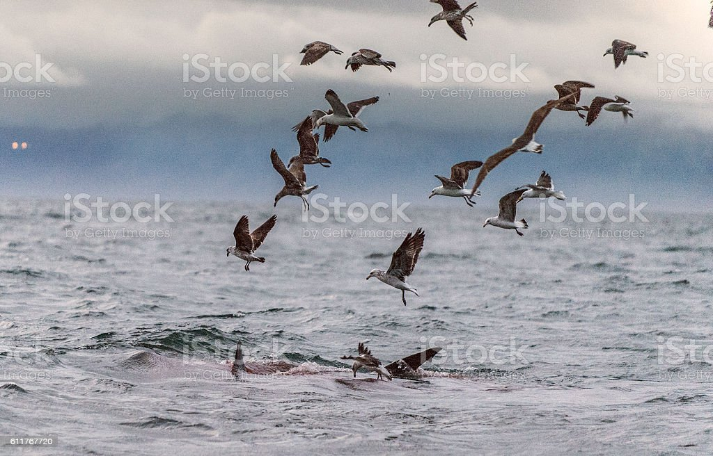 Fin of a white shark and Seagulls stock photo