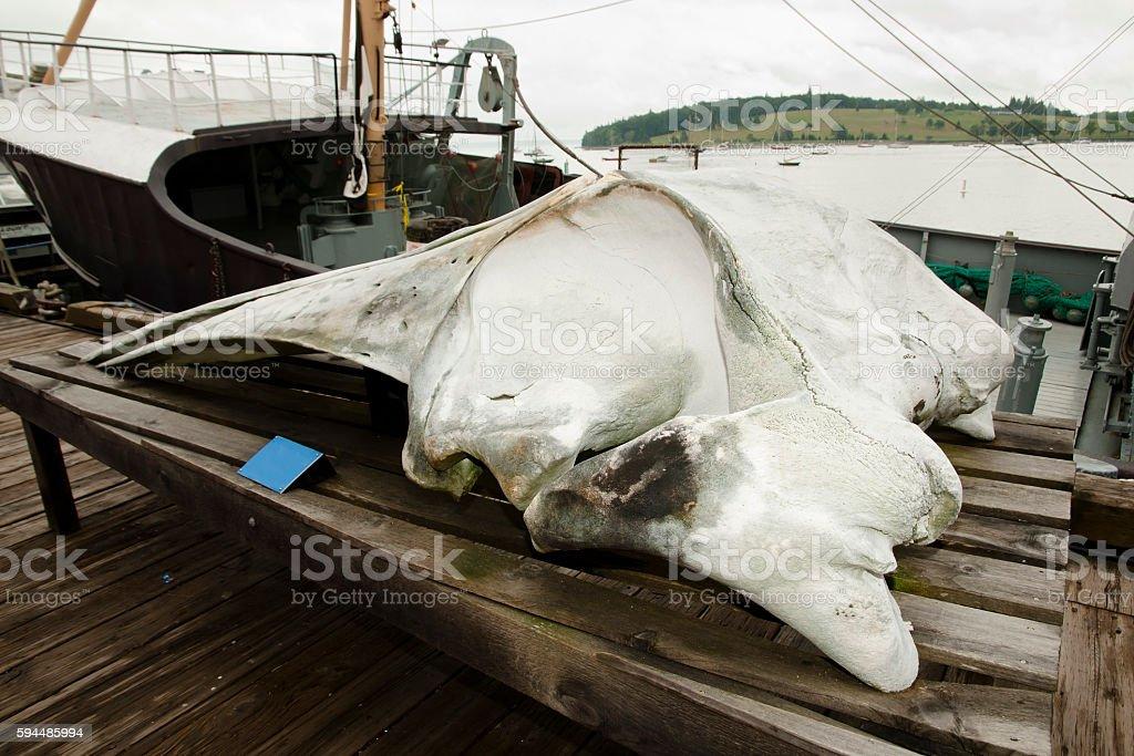 Fin Whale Skull stock photo