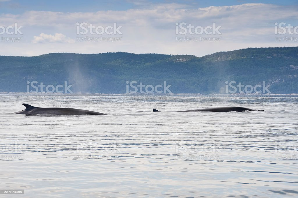 Fin whales, St Lawrence river, Quebec (Canada) stock photo