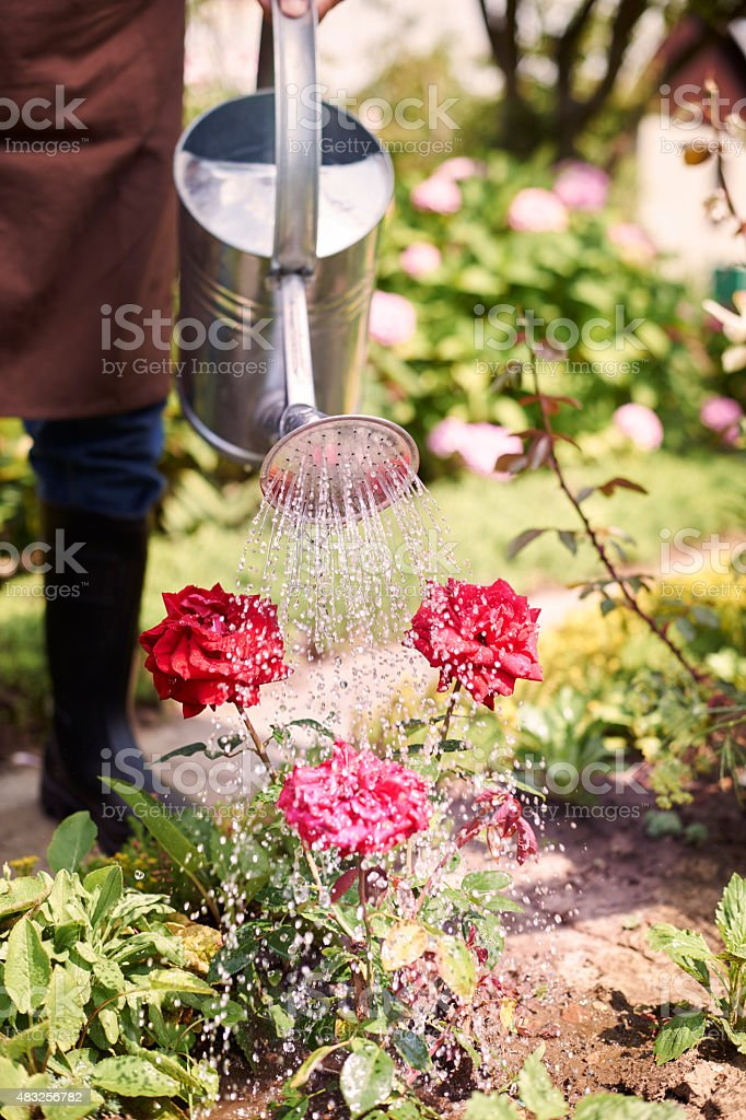 Finally my favourite flowers have bloomed stock photo