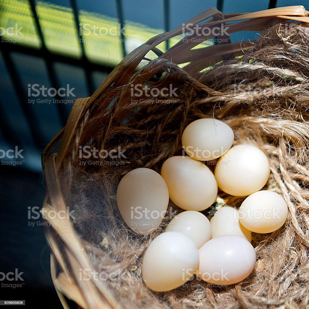 Finch Eggs, Bird