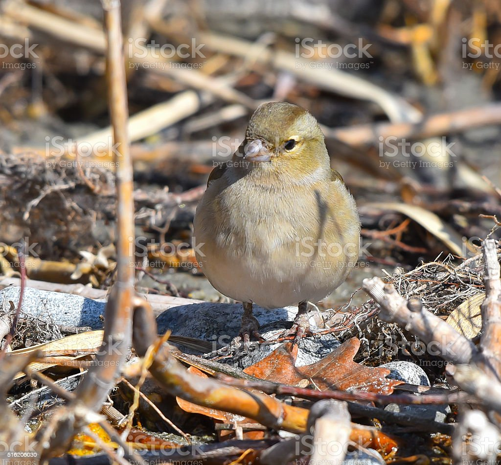 Finch female on the ground looking stock photo