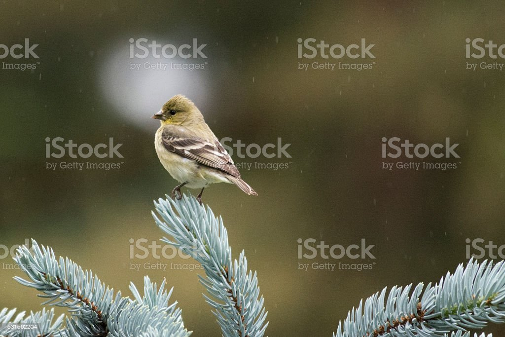 Finch in the Rain on a Blue Spruce stock photo