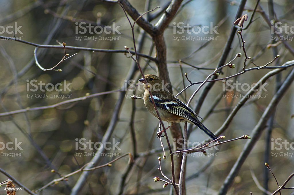 Finch on a tree branch in   forest. stock photo