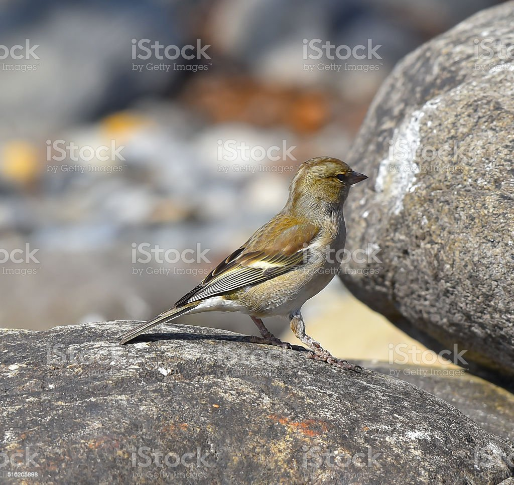 Finch on rock stock photo
