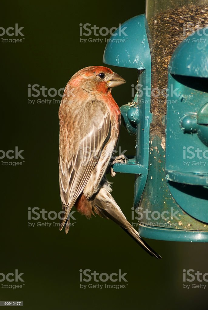 Finch on the Feed stock photo