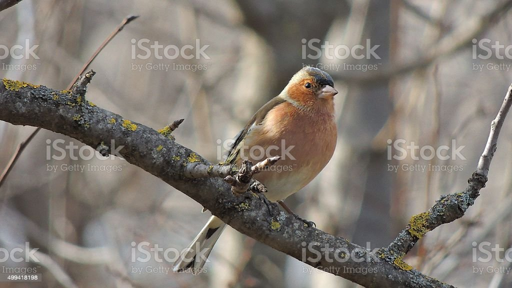 Finch (Fringilla coelebs) sitting on a branch stock photo