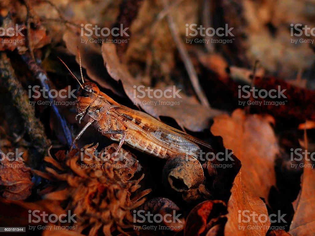 find  Locusta migratoria stock photo