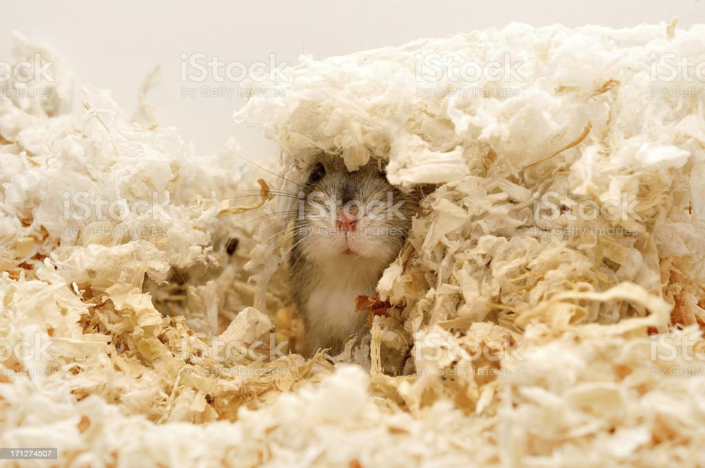 Find me! Dwarf hamster hiding stock photo