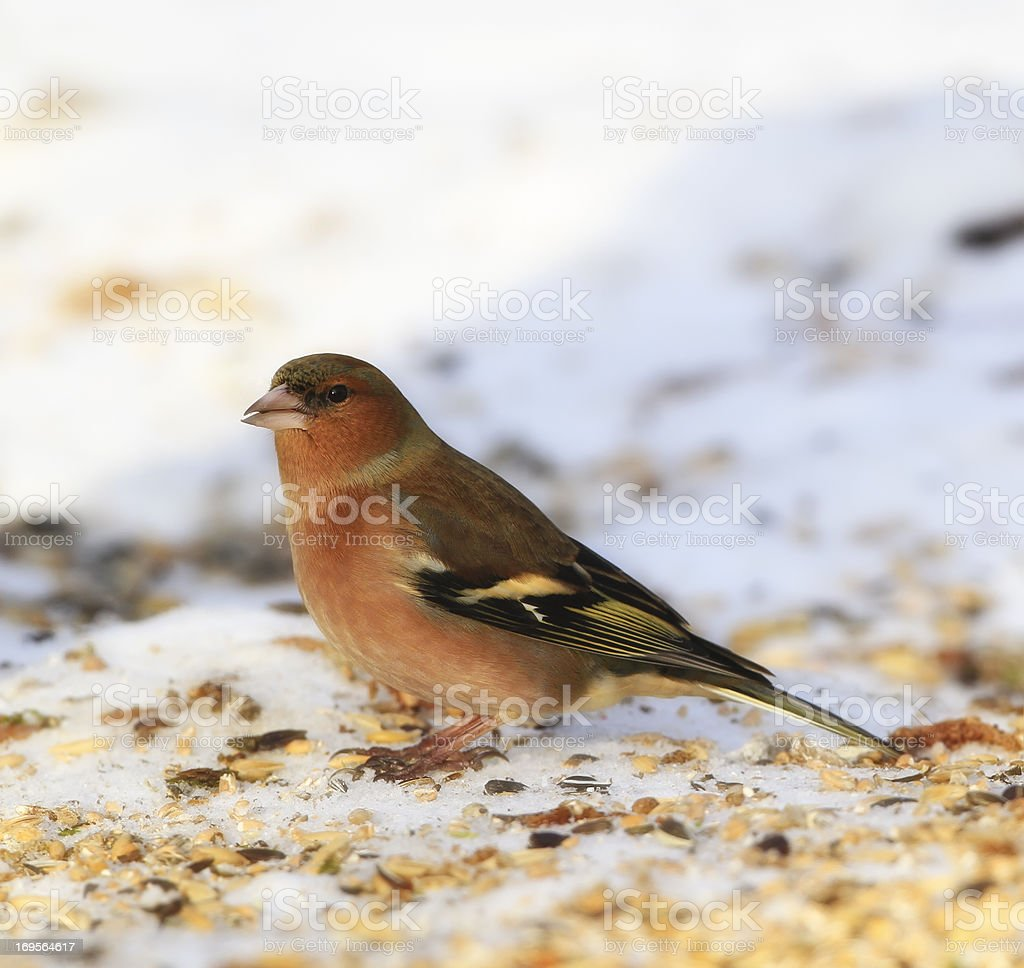 Finding some seeds in the snow royalty-free stock photo