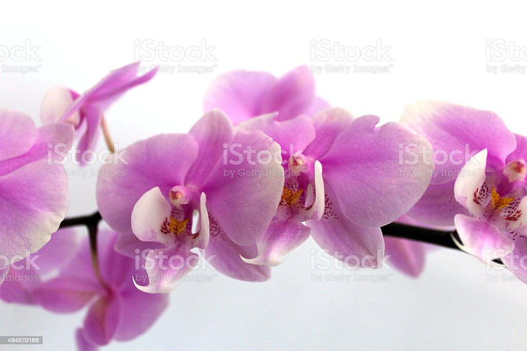 Fine branch of a blossoming pink orchid stock photo