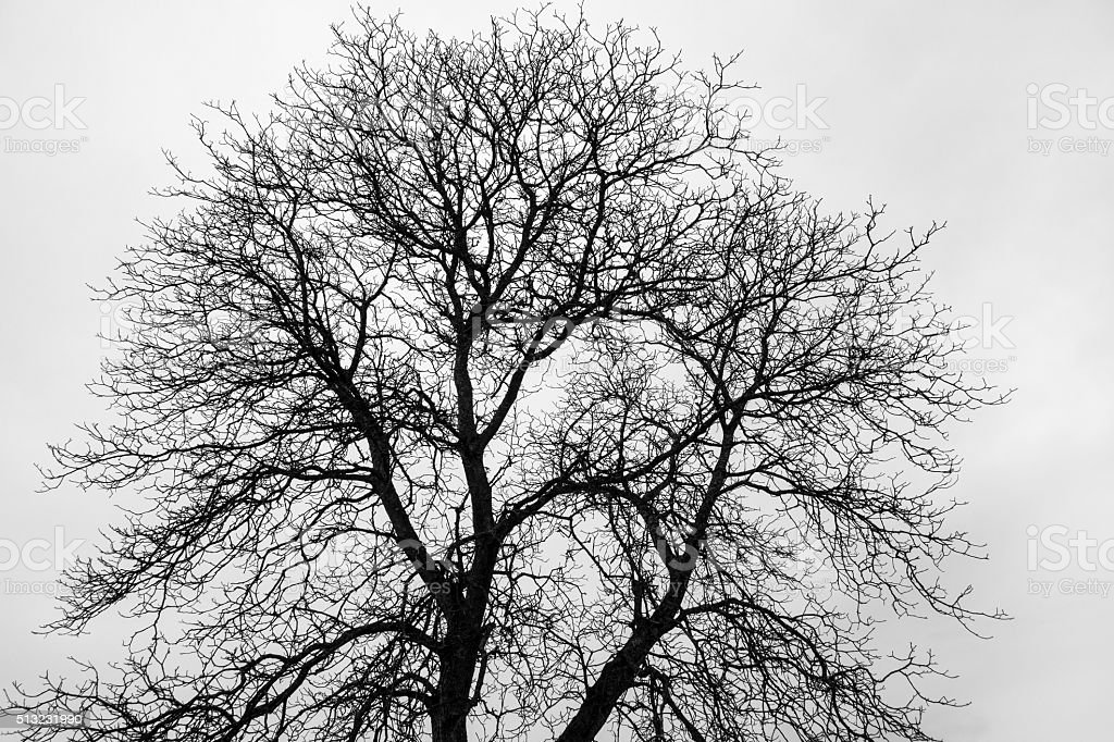 Fine branched, bare tree stock photo