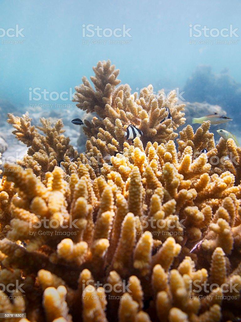 Fine Branching Acropora with Humbug Dascyllus Damselfish stock photo