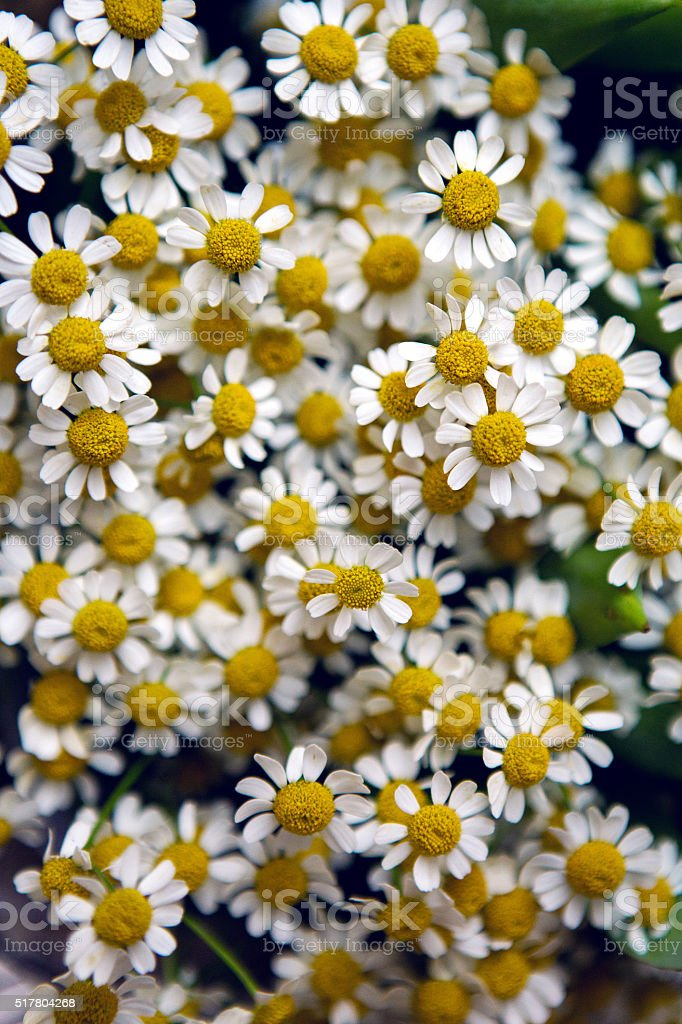 fine chamomile flowers stock photo