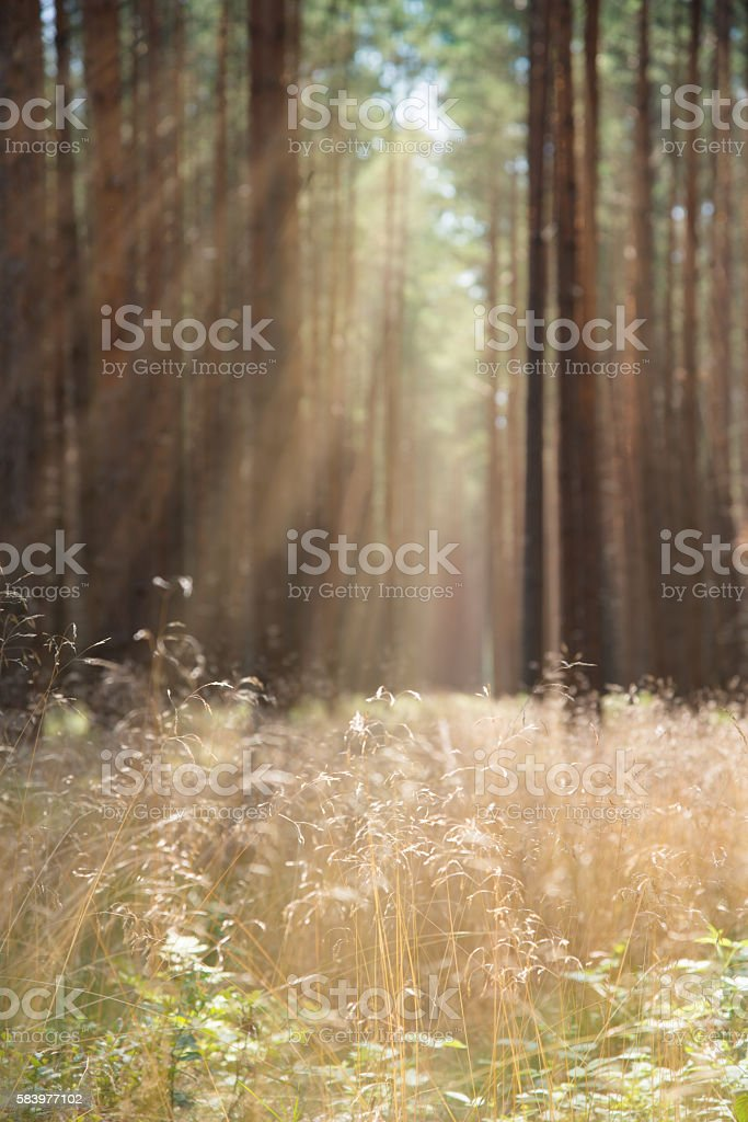 fine grass in pine forest in sunlight with rays stock photo