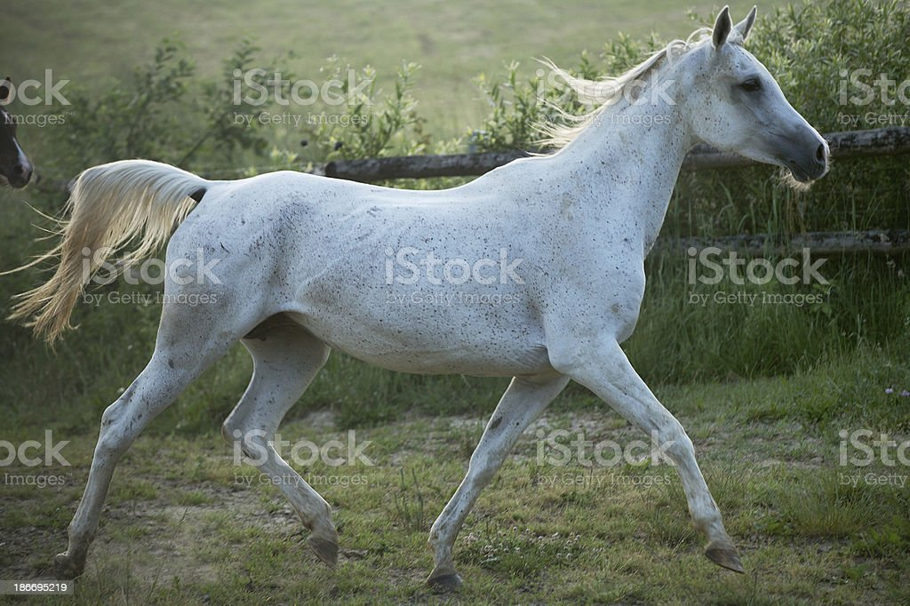 Fine shoot of spotted white steed royalty-free stock photo