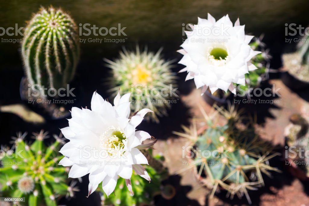 Fine white flower of a cactus stock photo