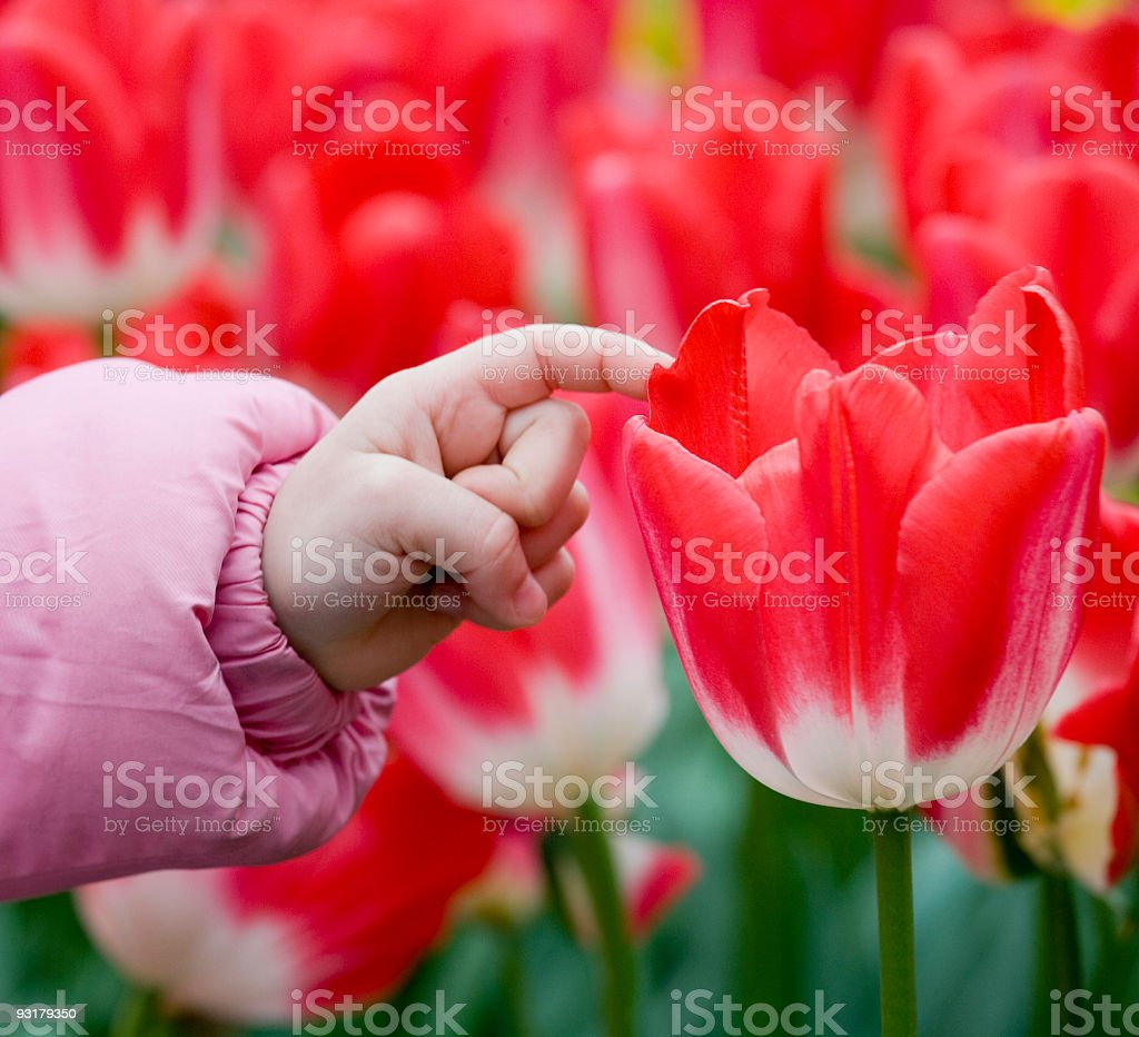 Finger of child touching red tulip flower royalty-free stock photo