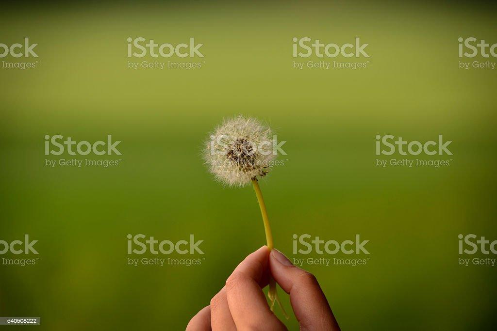 Fingers holding dandelion royalty-free stock photo