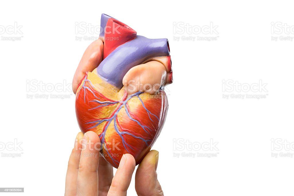 Fingers showing model human heart on white stock photo