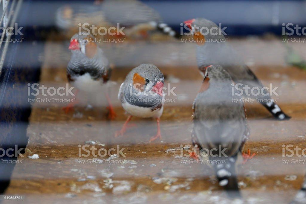 Finken im Vogelkäfig stock photo