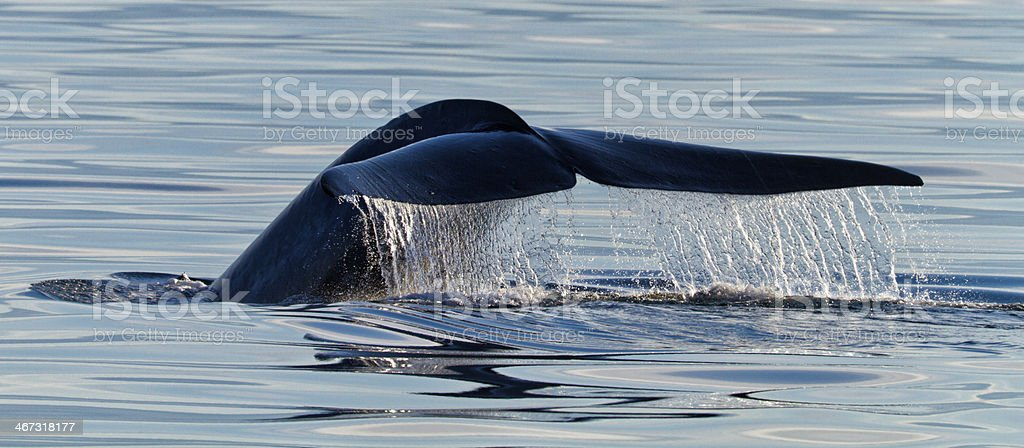 Finnwal, Balaenoptera physalus, Fin whale stock photo