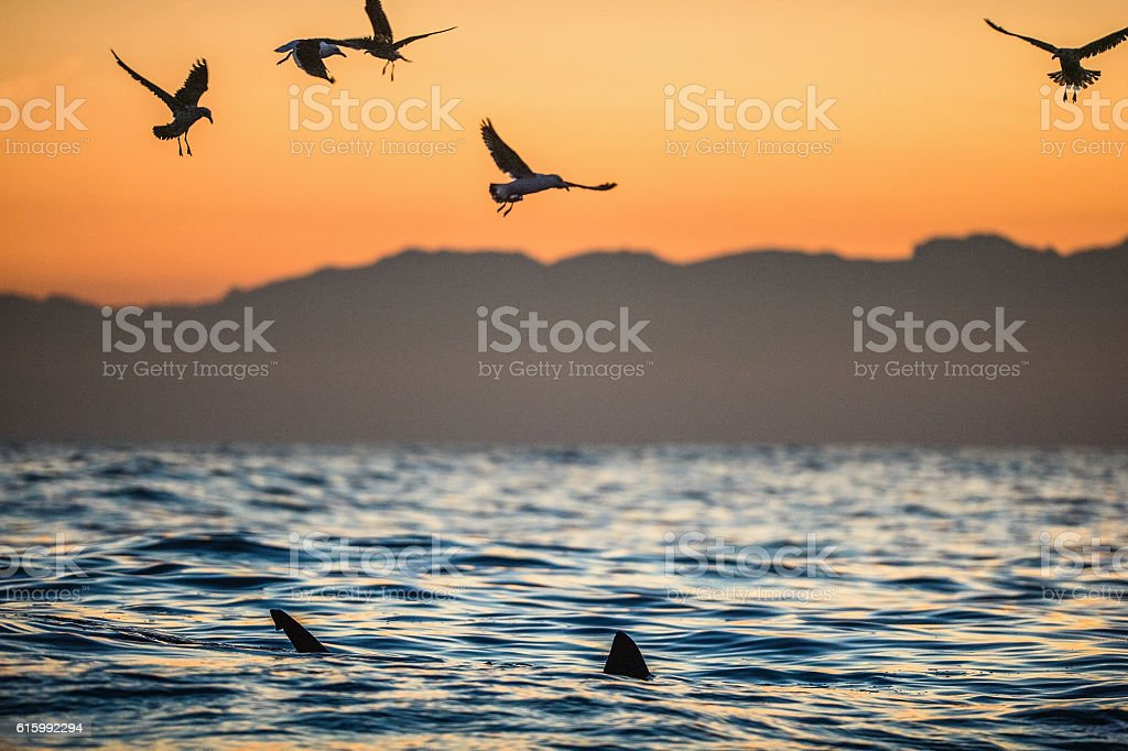 Fins of a white shark and Seagulls stock photo