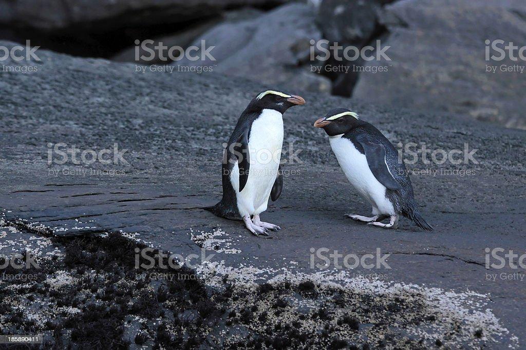Fiordland Crested Penguin (Eudyptes pachyrhynchus) stock photo
