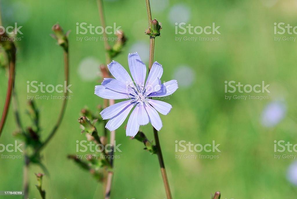 Fiore di cicoria stock photo