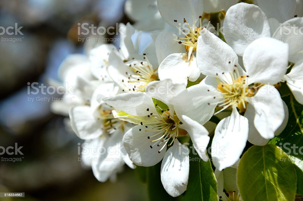 Fiore di pero stock photo