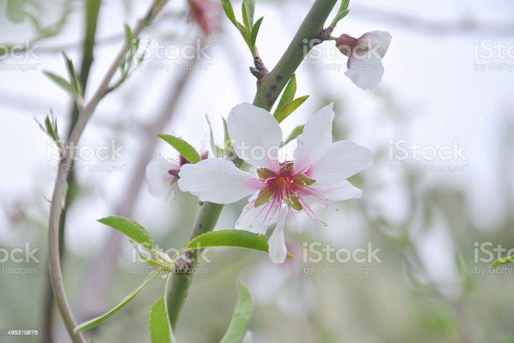 fiore di pesco stock photo