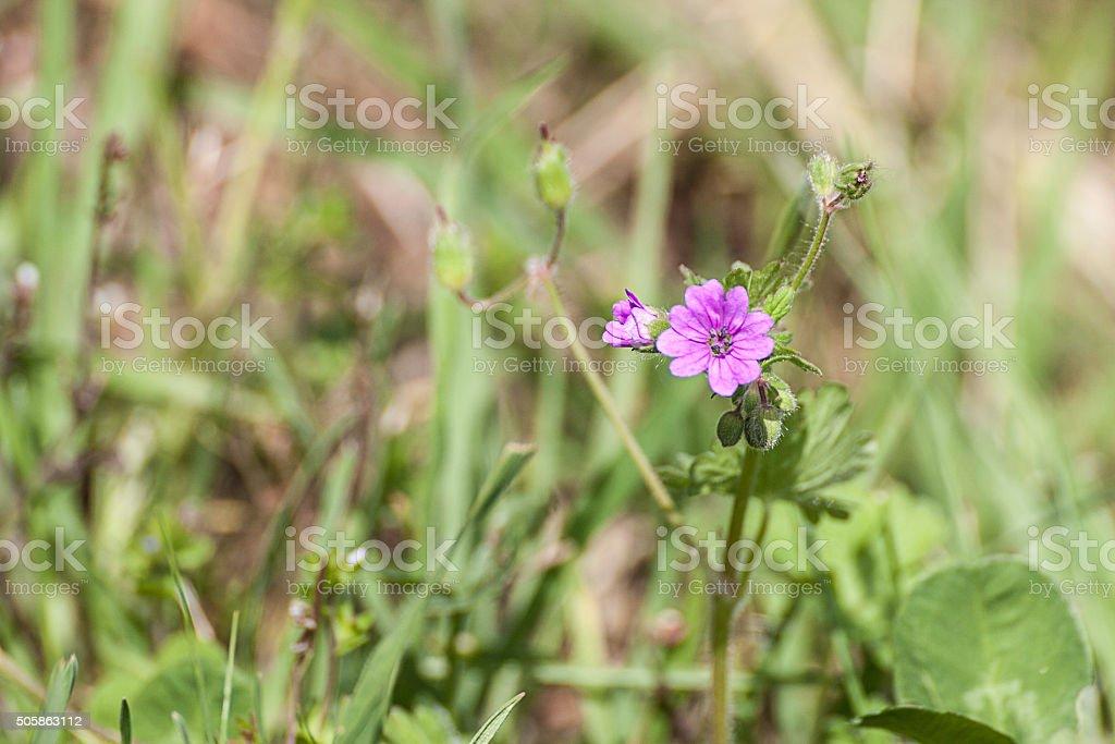 fiore geranio da campo stock photo