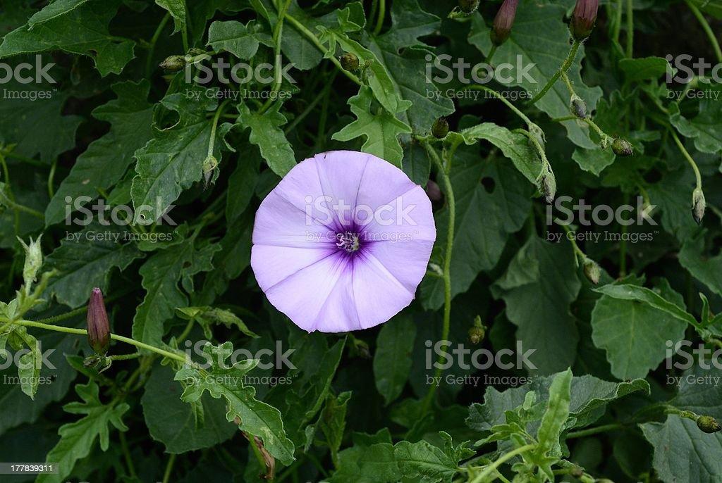 Fiore isolato di vilucchio rosso stock photo