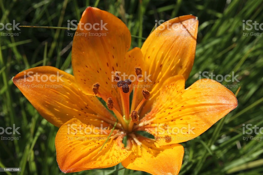 fiore montano stock photo