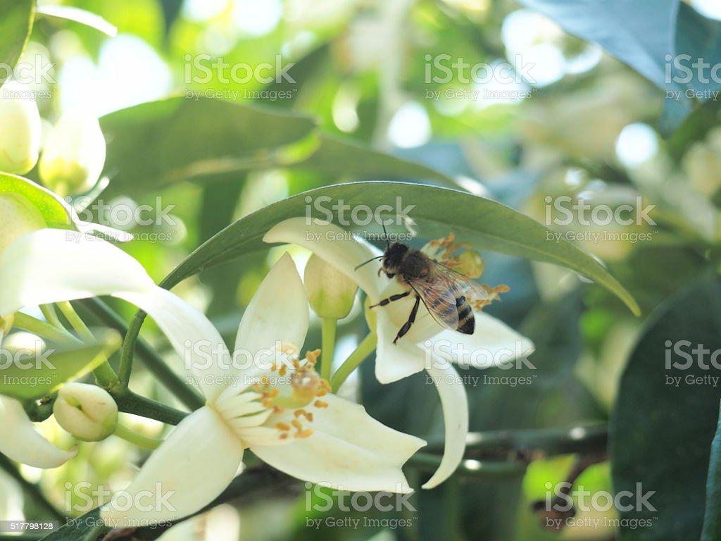 fiori di arancio con ape stock photo
